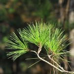 PineLeaves-Miramar_TH6282
