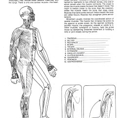 Muscular System Diagram Worksheet 220 Volt Dryer Outlet Wiring Teaching Resources Of Digestive Diabetes Inc