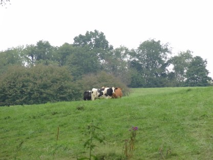 cows in the field