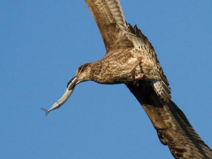 Juvenile Kelp Gull grabs a Garfish...