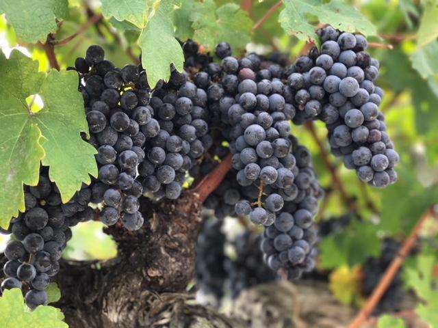Plagidos Grapes