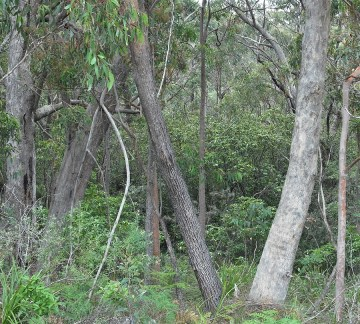 Woodland (Eucalyptus and Angophora species) bordering denser riparian vegetation in background, Lawson Creek, December 2017 Photo: P Ardill