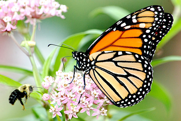 Monarch Butterfly Courtesy of Jim Hudgins:USFWS