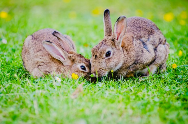 Bunnys Courtesy of WordPress Pexels