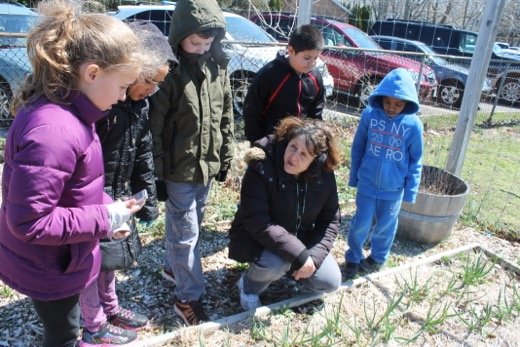 Third grade teacher Mary Ann Rempel and some of her students looking at garlic they planted last year in the Greenport school garden. File photo: Denise Civiletti