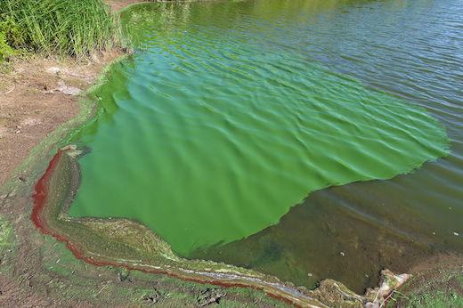 Blue-green Algae Bloom Found In Mattituck Pond; Residents