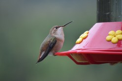 Rufus Hummingbirds (female)