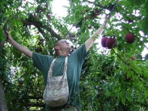Volunteer Dave Beeman picks plums to add to City Fruit's harvest.