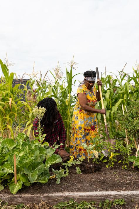 Photo depicting a female-presenting individual in a yellow floral dress digging at a garden bed. Tall stalks of green corn surround her.