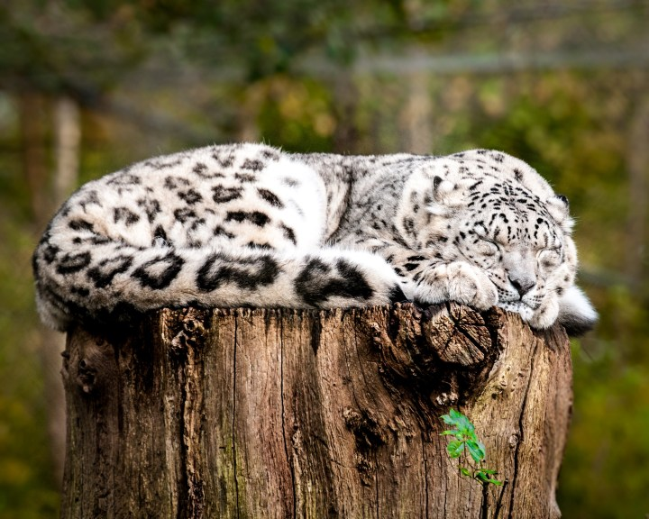 snowleopard credit Karl Bulpitt
