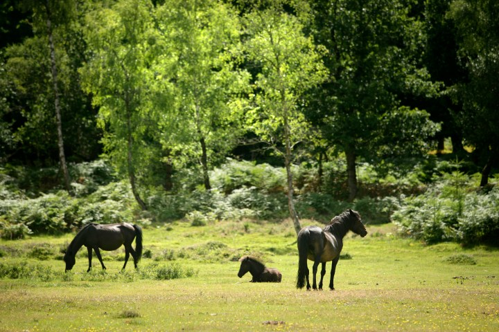 The famous New Forest ponies (credit www.thenewforest.co.uk) -  (14).jpg