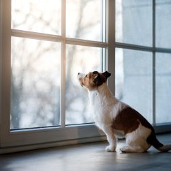Jack Russell Terrier on the windowsill. The dog in the Studio