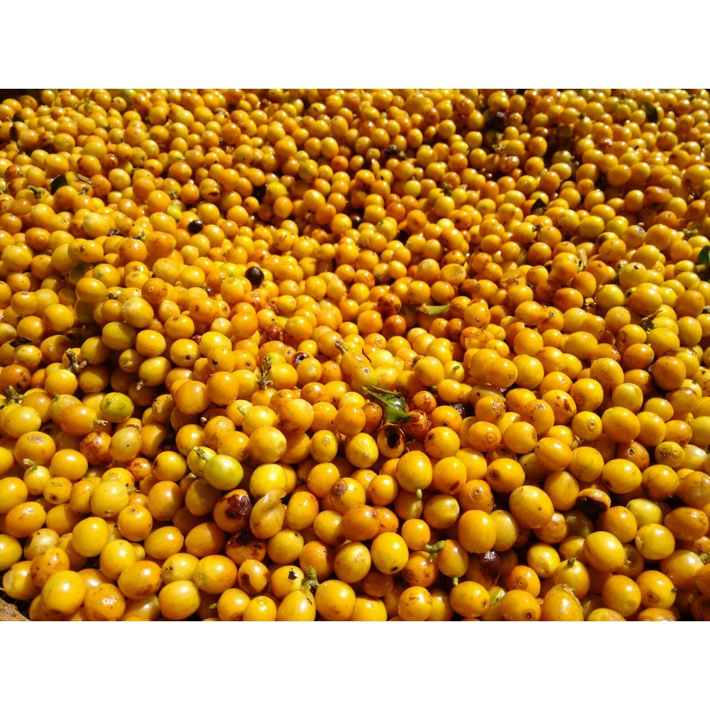 yellow catuai coffee cherries