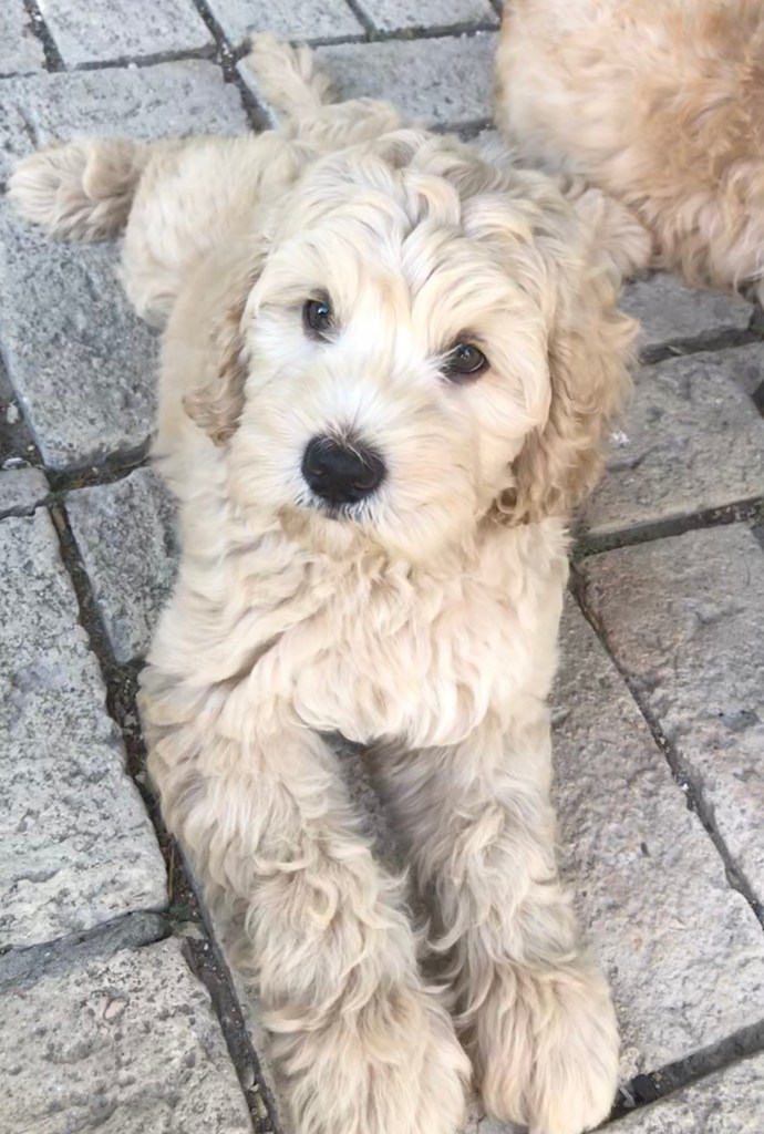 Labradoodle Puppies For Sale In Texas
