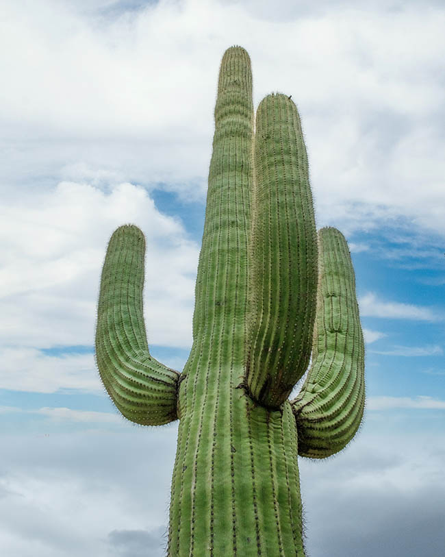 A vertical low angle shot of a green cactus under a cloudy sky in the Sonoran Desert outside of Tucson Arizona