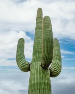 Saguaro Cactus Desert Landscape Plant
