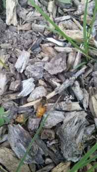 Queen Bee In Mulch After Mating