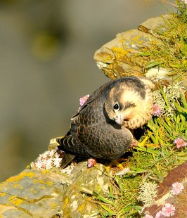 Juvenile Tiercel Atlantic coast