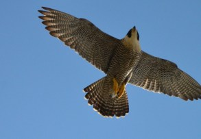 Resident Falcon 2016