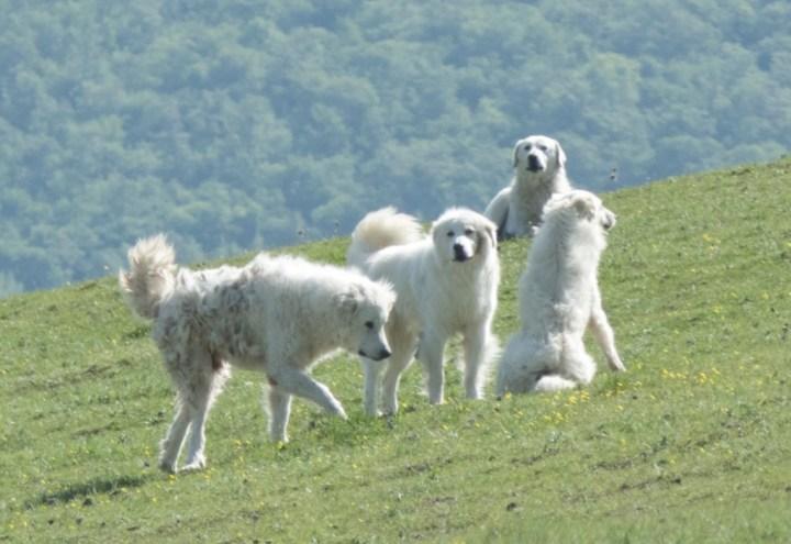 Maremma sheep dog