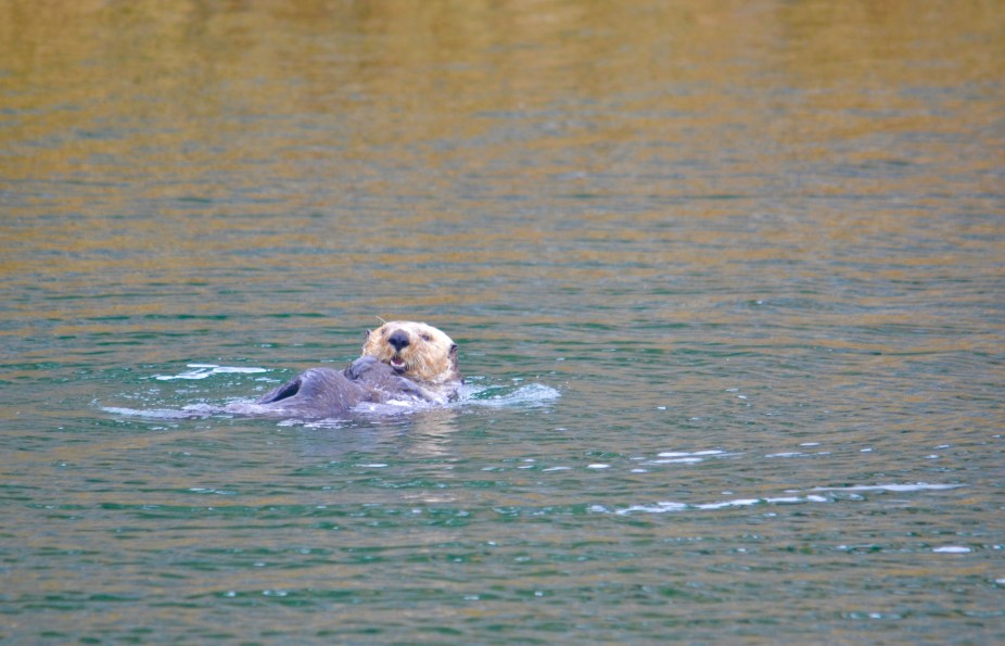 Lots of sea otters!