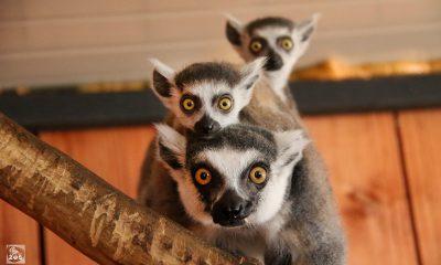 Еще два лемура поселились в тбилисском зоопаркеЕще два лемура поселились в тбилисском зоопарке