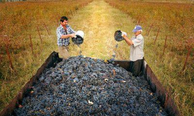 Виноделы уже собрали 70 тысяч тонн винограда
