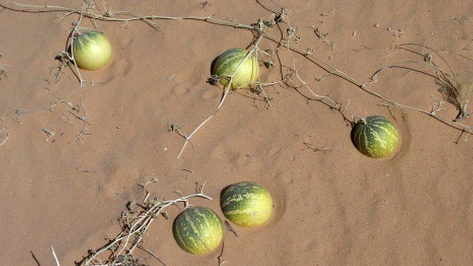 Дикие арбузы по-прежнему можно встретить в пустынях Северной Африки
