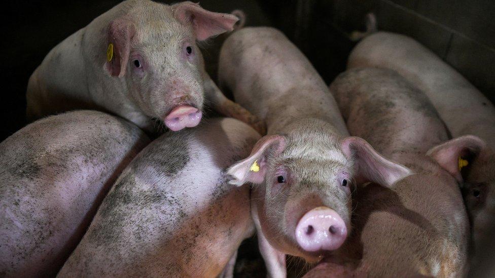 Без газа на скотобойнях свиньям грозит еще более мучительная смерть на фермах