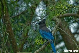 Stellar Jay, Mount Tabor, Oregon