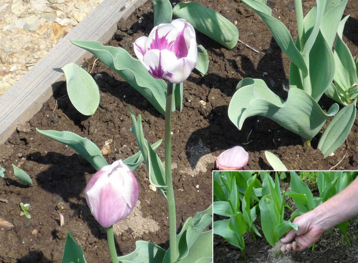 Doit On Deterrer Les Oignons De Tulipes comment prendre soin des tulipes après la floraison? que