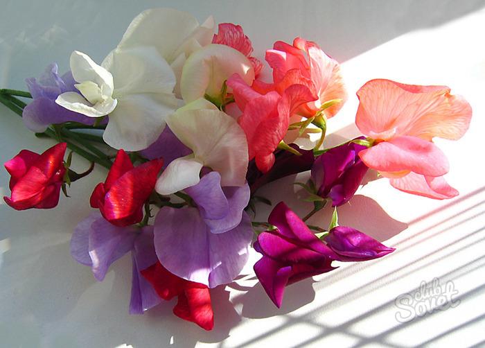 Душистый и красивый: декоративный горошек на балконе и в саду. Как вырастить душистый горошек из семян? Посадка, фото