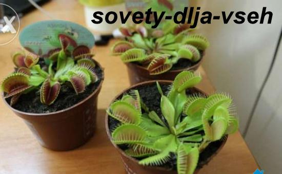 Комнатные растения-хищники