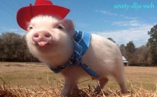 пожелания на год желтой свиньи