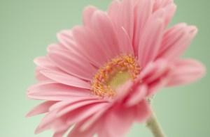敬老の日の花でおすすめなのはガーベラ