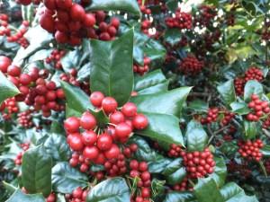 クリスマスに飾る赤い実の名前ヒイラギ