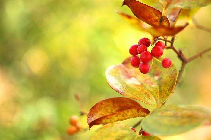 クリスマスに飾る赤い実の名前サンキライ
