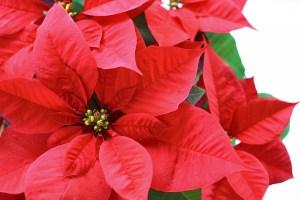 ポインセチアの葉言葉を色別に紹介赤い葉っぱの場合
