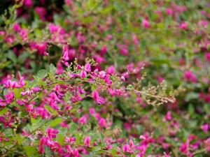 秋の七草の種類と特徴萩