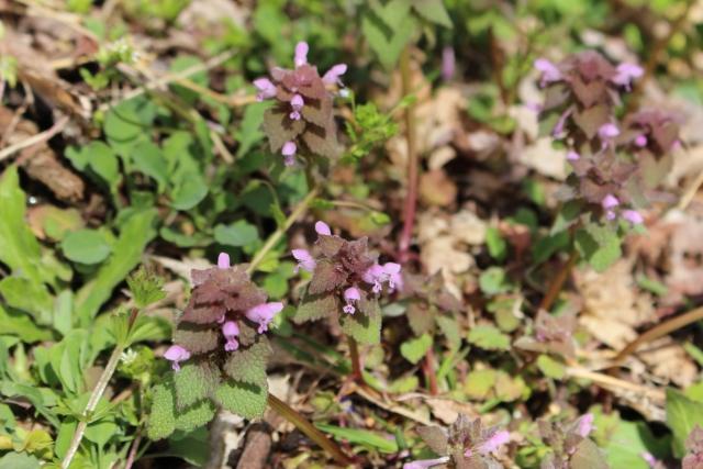 春の雑草の花の名前オドリコソウ