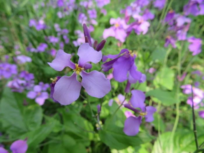 春の雑草の花の名前紫色に咲く種類ムラサキハナナ
