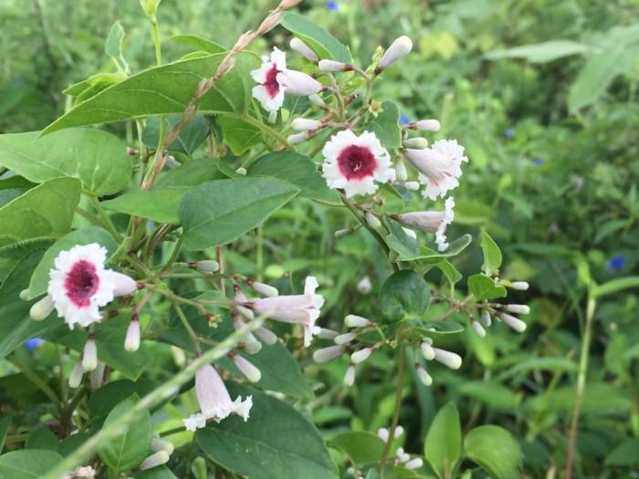 春の雑草の花の名前白く咲く種類ヘクソカズラ