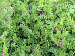 春の雑草の花の名前ピンク色カラスノエンドウ