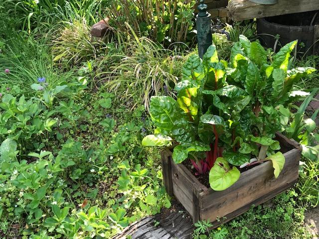 ターシャの庭は岐阜にもありましたスイスチャード
