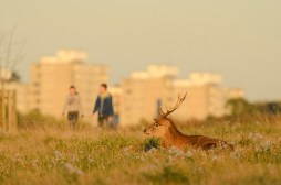 Red deer (Cervus elephus), Richmond Park, London. Roehampton Flats in background. STRICTLY FRIENDS OF THE EARTH USE ONLY