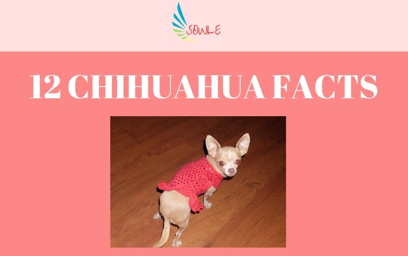 12 Chihuahua Facts - SOWLE RV