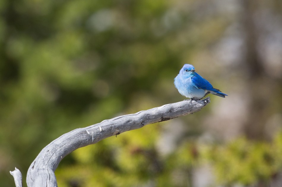 Bluebird on a tree