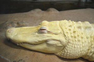alligator-573020_1280
