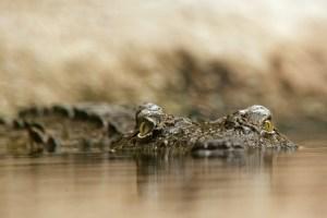 crocodile-448624_1280