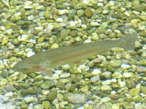 rainbow-trout-117482_1280